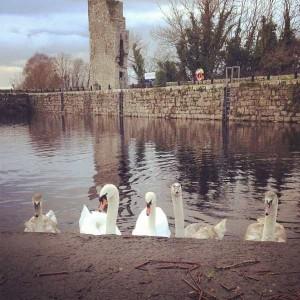 Swans in Garrykennedy