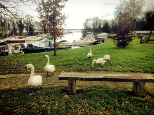 swans on the grass at Garrykennedy